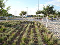 Lavender flower gardens at Larnaca International airport in the Republic of Cyprus.jpg