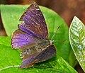 Leaf Blue (Amblypodia anita) W IMG 2688.jpg