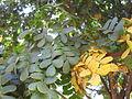 Leaves of Brazilwood, in Brasília.jpg