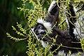 Lemur (27618793108).jpg