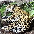 Leopard (230486647).jpg