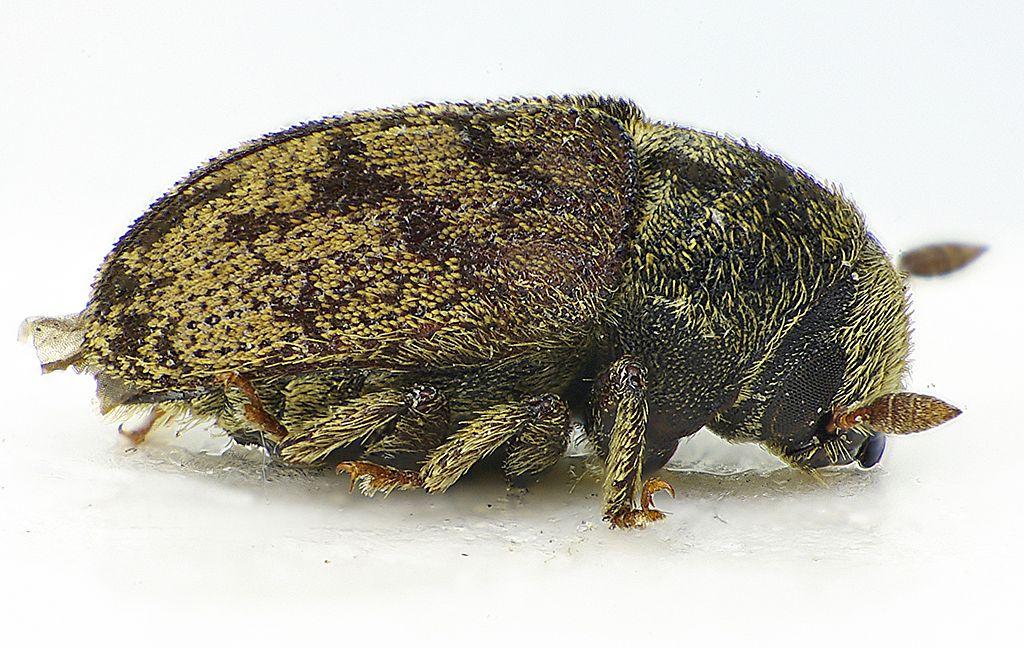 Lykokaz jaseňový (lat. Leperisinus fraxini)