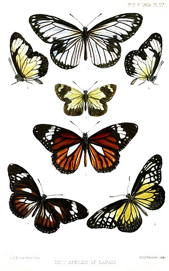 """Danaini - """"Tiger butterflies"""" of genera Ideopsis (top), Danaus (lower center/left) and Parantica (others)"""