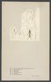 Leptura - Print - Iconographia Zoologica - Special Collections University of Amsterdam - UBAINV0274 001 10 0018.tif