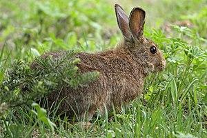 Snowshoe hare - Summer morph