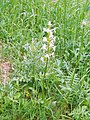 Lesser Butterfly-orchid (Platanthera bifolia) - geograph.org.uk - 1347005.jpg