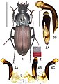 Lesticus auripennis (10.3897-zookeys.782.27187) Figures 1–4.jpg