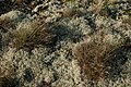 Lichen-heath1.jpg