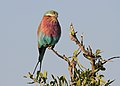 Lilac-breasted Roller, Coracias caudatus at at Mapungubwe National Park, Limpopo, South Africa (18032707881).jpg