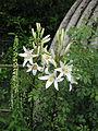 Lilium candidum (14248865108).jpg