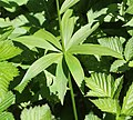 Lilium medeoloides (leaf).jpg