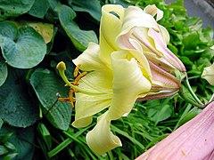 Lilium x aurelianense1MTFL.jpg