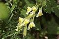 Linaria vulgaris-4365.jpg