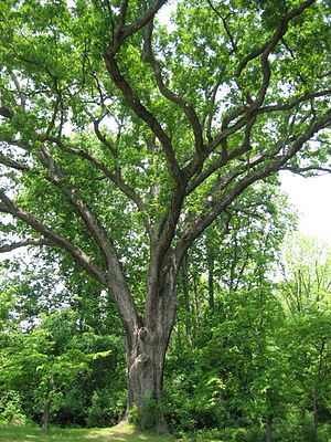 Photo of Linden Oak in May 2007