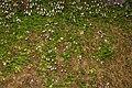 Linnaea borealis 0347.JPG