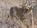 Lioness (6291347642).jpg
