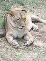 Lioness @ bannerghatta.jpg