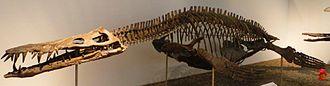 Liopleurodon - L. ferox skeleton, Museum of Paleontology, Tuebingen