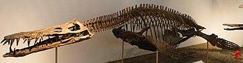 Liopleurodon ferox Tubingen 2.JPG