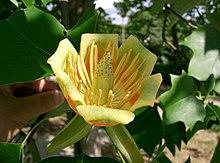 Liriodendron tulipifera12.jpg