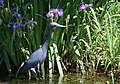 Little Blue Heron (33931327243).jpg