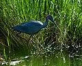Little Blue Heron Bayou Sauvage La (28923993).jpeg