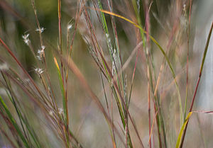Schizachyrium scoparium - Image: Little Bluestem