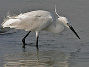 Little Egret (Egretta garzetta) on a buffallo in water W3 IMG 3620.jpg