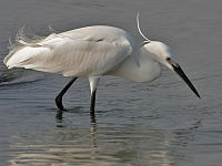 Little Egret (Egretta garzetta) on a buffalo in water W3 IMG 3620.jpg