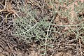 Lomatium macrocarpum 9312.JPG