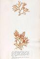 Lomentaria articulata Crouan.jpg