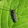 Longhorn Beetle. Phytoecia cylindrica - Flickr - gailhampshire.jpg