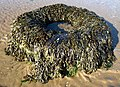 Lorry Tyre, North Sands, Troon - geograph.org.uk - 977377.jpg