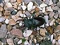Lucanus cervus (Linnaeus, 1758) 60 mm (25306046248).jpg