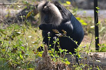 Lucknow Zoo Lion Tailed Monkey.jpg