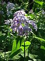 Lunaria annua flowers 02.JPG