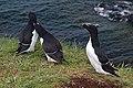 Lunga Treshnish Isles Alca torda 3.jpg