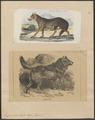 Lupus orientalis - 1700-1880 - Print - Iconographia Zoologica - Special Collections University of Amsterdam - UBA01 IZ22200343.tif