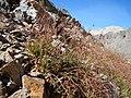 Luzula parviflora (29172288846).jpg