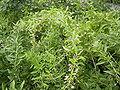 LyciumBarbarum-plant-hr.jpg