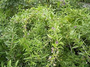 Gemeiner Bocksdorn (Lycium barbarum)