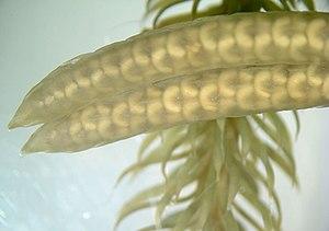 Strobilus - Image: Lycopodium strobilus wm