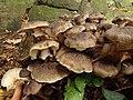 Lyophyllum decastes (?) (49189204472).jpg