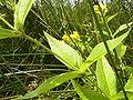 LysimachiaVulgaris-leaf-hr.jpg