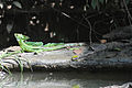 MALE PLUMED BASILISK LIZARD FROM COSTA RICA.jpg