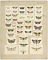 MA I437909 TePapa Plate-XLVIII-The-butterflies full.jpg