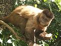 Macaco prego libidinosus.jpg
