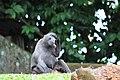 Macaque Singapore zoo 01.jpg