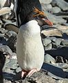 Macaroni Penguin basking in the sun (5899418322).jpg