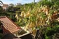 Madeira - Jardim do Mar - Angels' Trumpets (24261786329).jpg